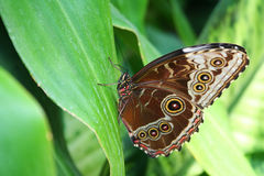 Blue Morpho Butterfly. A blue morpho butterfly resting on a leaf Royalty Free Stock Photography