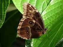 Blue Morpho Butterfly Stock Photography