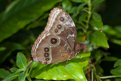 Blue Morpho Butterfly. A photo of a Blue Morpho Butterfly (Morpho peleides) perched green leaf Stock Images