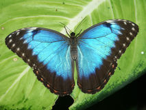Blue Morpho Butterfly. A Peleides Blue Morpho Butterfly (Morpho peleides) sits on a leaf Stock Photography