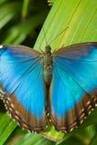 Blue Morpho Butterfly. (Morpho peleides Stock Photography