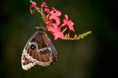 Blue Morpho butterfly. Hanging off a pink flower Royalty Free Stock Images