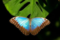 Blue Morpho butterfly. Resting on a plant leaf Stock Photography