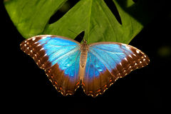 Blue Morpho butterfly. Resting on a plant leaf Royalty Free Stock Images
