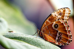 Blue Morpho butterfly. Resting on a plant leaf with its wings shut Royalty Free Stock Image