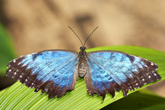 Blue Morpho Butterfly Royalty Free Stock Photography