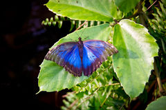 Blue Morpho butterfly. Blue Morpho with outstretched wings sitting on a leaf, Morpho peleides Royalty Free Stock Image
