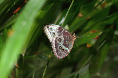 Blue Morpho Butterfly. With wings folded on a leaf Stock Images