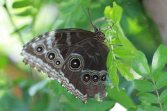Blue Morpho Butterfly. With wings folded on a leaf Stock Photo