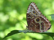 Blue Morpho Butterfly. Standing on a leaf with gren background Royalty Free Stock Images