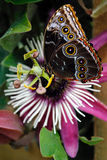 Blue morpho butterfly. Passiflora VIOLACEA flower and a Blue morpho butterfly Royalty Free Stock Photography