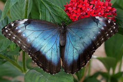 Blue Morpho Butterfly. With red flowers and green leaves Stock Photo