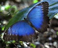 Blue Morpho Butterfly. Common Blue Morpho Butterfly, morpho peleides, on green leaf with wings outstretched Stock Photos