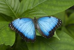Blue Morpho Butterfly. A large Blue Morpho Butterfly resting on a leaf, horizontal with copy space Stock Photography
