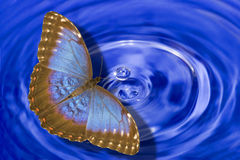 Blue morpho butterfly above water Stock Image