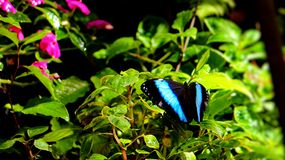 Blue morpho butterfly. A Banded Morpho butterfly standing on green leaves with mauve flowers in the blurred background, in an aviary in Butterfly World, South stock photography