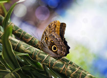 Blue Morpho Butterfly. Beautiful blue morpho butterfly sitting in plants Stock Images
