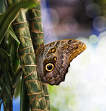 Blue Morpho Butterfly. Close-up blue morpho butterfly sitting in plants Stock Image