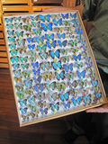 Blue Morpho butterfly collection, morpho didius, presented in a frame, Costa Rica. Central America Stock Photo