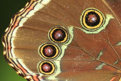 Blue morpho butterfly detail Royalty Free Stock Photography