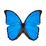 The Blue Morpho butterfly (disambiguation) or Sunset Morpho Royalty Free Stock Photos