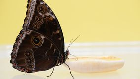 Blue morpho butterfly eating banana. Uses its proboscis morpho peleides stock video footage