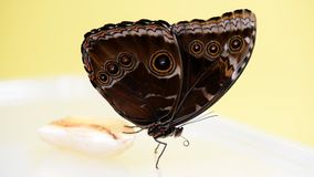 Blue Morpho butterfly eating. Uses its proboscis Morpho peleides stock footage