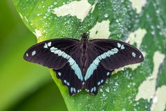 Blue morpho butterfly or the emperor, morpho peleides resting on a flower royalty free stock photos
