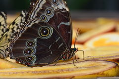 Blue Morpho Butterfly Royalty Free Stock Images