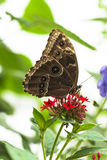Blue Morpho Butterfly. Feeding on red flower Royalty Free Stock Images