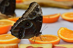 Blue Morpho butterfly at the feeding station. Royalty Free Stock Photography