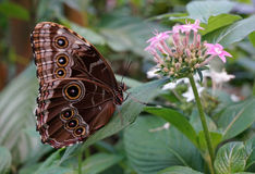 Blue Morpho Butterfly. And Flower Stock Photo