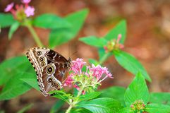 Blue Morpho butterfly on flowers Royalty Free Stock Photography