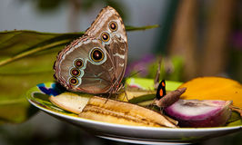 Blue Morpho Butterfly on fruit stock photography