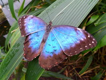 Blue morpho butterfly. Glossy blue butterfly with jungle background royalty free stock images