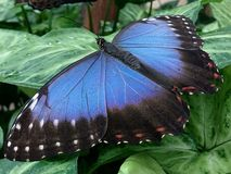 Blue Morpho Butterfly Green Leaf. Blue Morpho Butterfly on the green plant in Butterfly house Stock Images