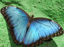 Blue morpho butterfly on green wall, costa rica Royalty Free Stock Photo