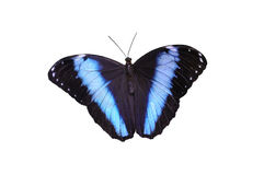 Blue Morpho Butterfly Isolated Royalty Free Stock Photos