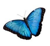 Blue Morpho Stock Photo