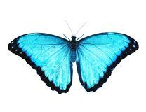 Blue morpho butterfly isolated on white background. Spread wings, color enhanced