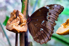 Blue Morpho Butterfly Royalty Free Stock Image