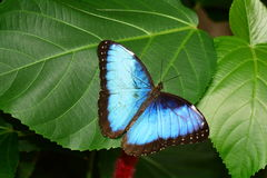 Blue Morpho butterfly. Royalty Free Stock Image