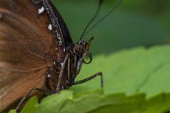 Blue Morpho butterfly on a leaf stock photos