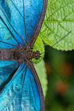 Blue Morpho butterfly on a leaf stock photography