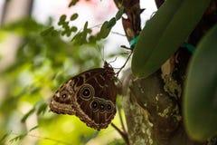 Blue morpho butterfly Morpho menelaus