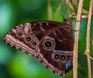 Blue Morpho Butterfly Morpho peledes royalty free stock photography