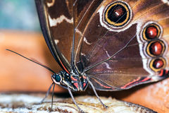 Blue Morpho Butterfly ( morpho peleides) feeding on some rotting Royalty Free Stock Images