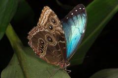 Blue Morpho Butterfly (morpho peleides) stock photo
