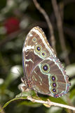 Blue Morpho Butterfly (Morpho peleides) Royalty Free Stock Photography
