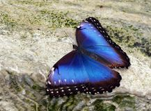 Blue Morpho Butterfly with Open Wings. Standing on a mossy wet rock royalty free stock photo